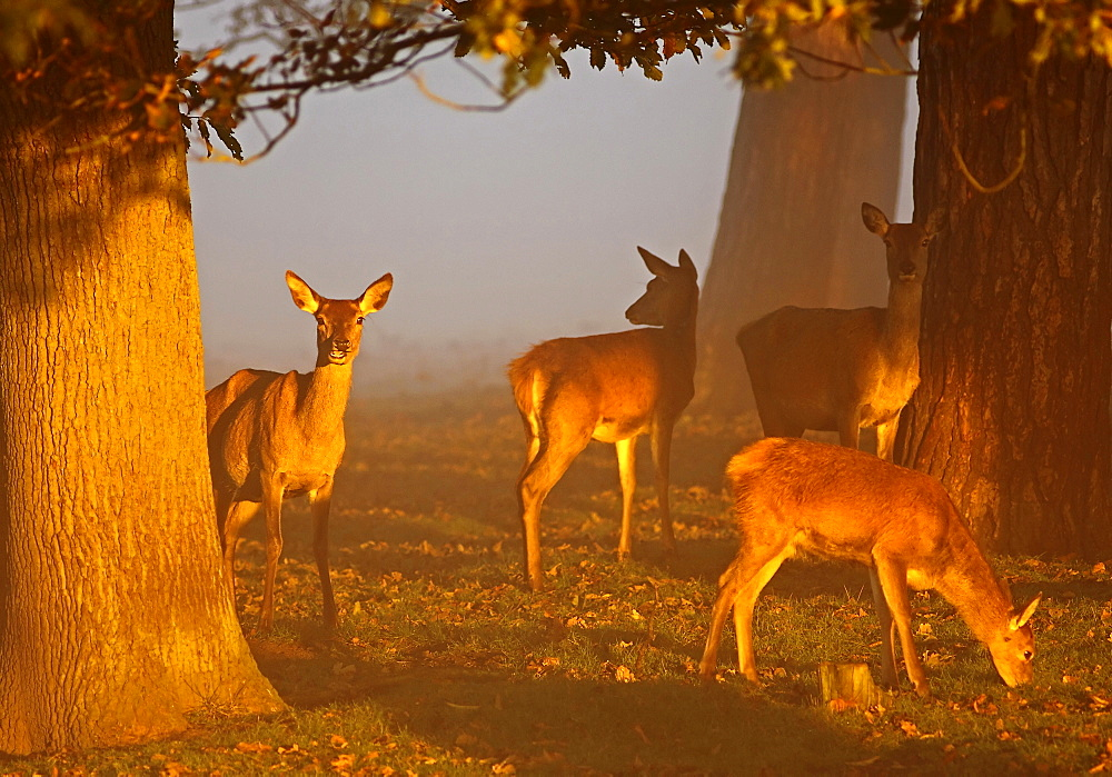 Animals, Mammals, Deer, Red deer Cervus elaphus Young Red Deer females feeding on sunny misty autumn morning at sunrise October Tatton Cheshire England UK.