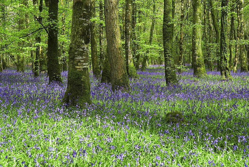 Ireland, County Roscommon, Derreen Wood, Bluebells in May.