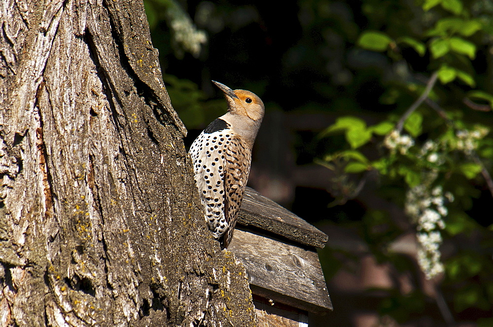Canada, Alberta, Lethbridge, Northern Flicker, Colaptes auratus, with catchlight in eye on old gnarled Elm tree.,