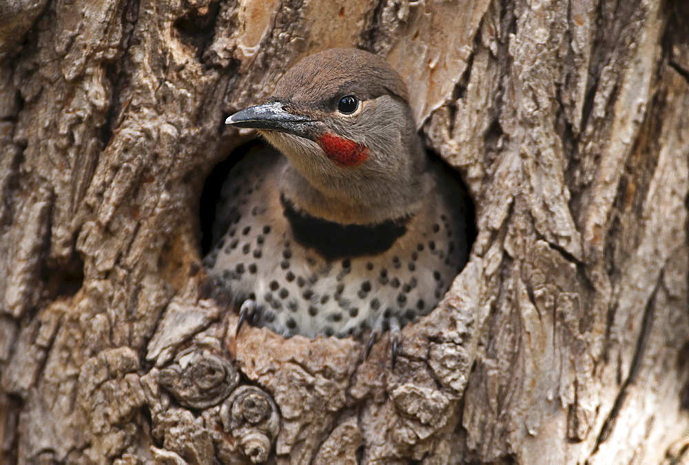 Canada, Alberta, Lethbridge, Northern Flicker, Colaptes auratus, fledged chick with catchlight in eye about to leave nest in old gnarled Elm tree for the first time.
