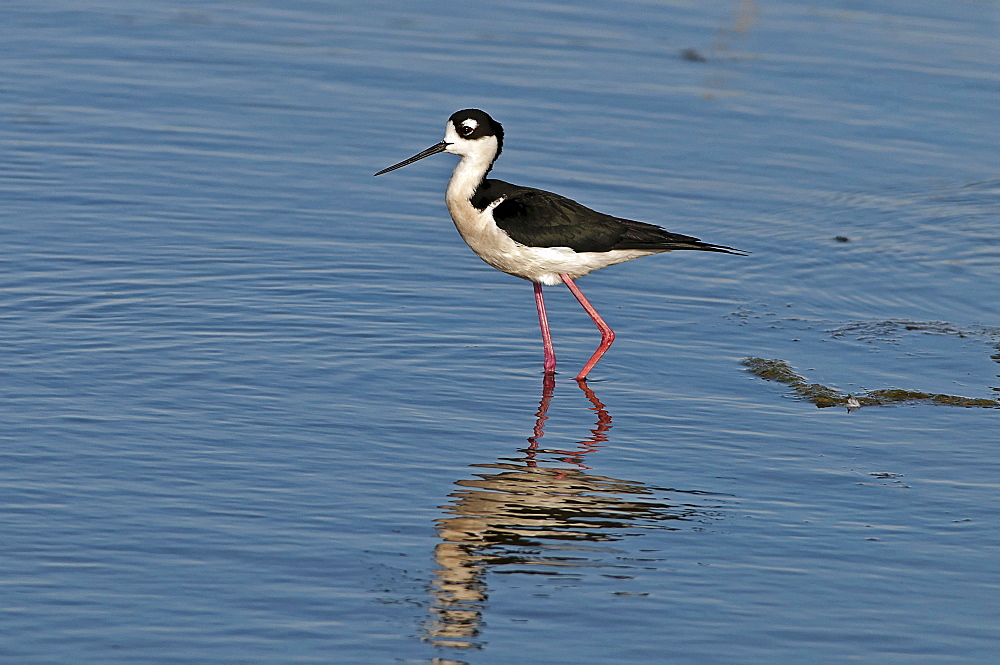 Canada, Alberta, Tyrrell Lake, Black-necked Stilt bird, Himantopus mexicanus, with catchlight in eye and reflection in the water, Black and white feathers, pink legs.