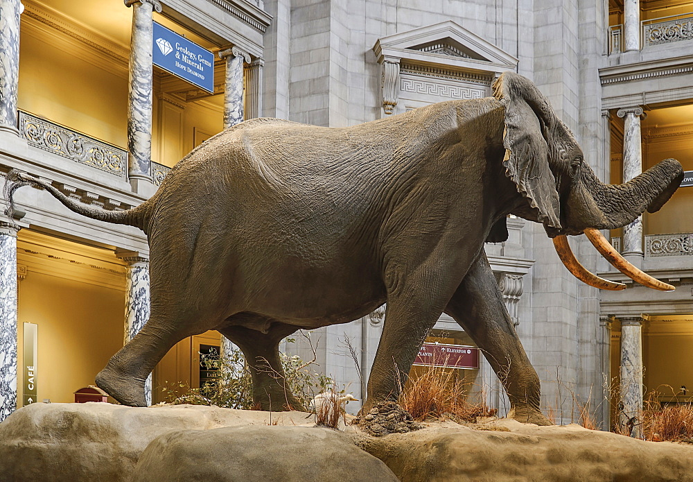 USA, Washington DC, National Mall, Smithsonian National Museum of Natural History, African Bush Elephant on display in the entrance lobby.