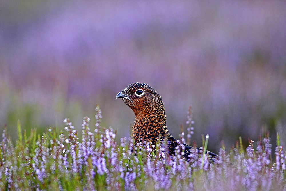 Animals, Birds, Gourse, Red Grouse, Lagopus lagopus, Male standing proud in full bloom purple heather, Yorkshire, England, UK