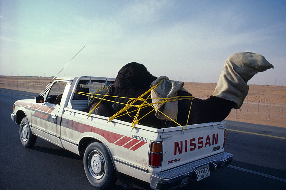 SAUDI ARABIA  Transport Car traveling down road transporting a camel in the back.  Automobile
