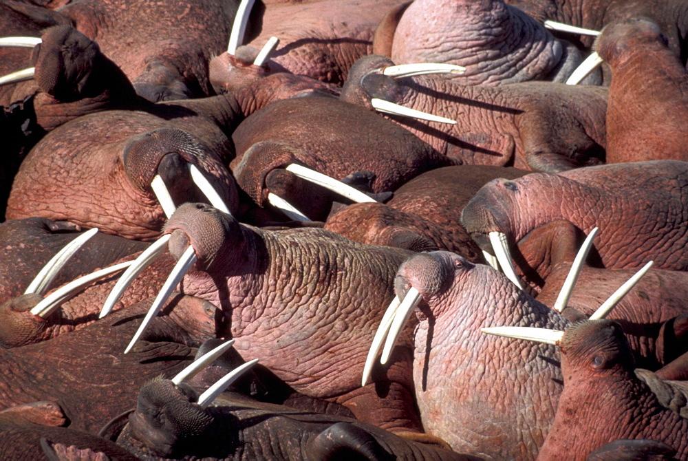 USA  Alaska Walrus herd close up    - 797-2319
