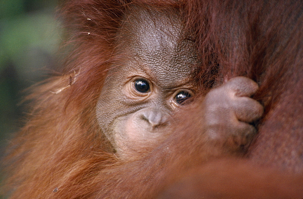 ANIMALS Apes Orang-utan Pongo pygmaeus.  Close view of baby Orang-utan clutching its mother.  Orang-Outang