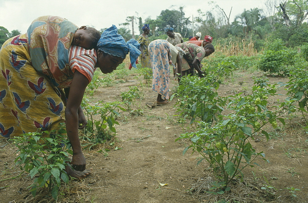 SIERRA LEONE  Kambla Woman carrying child on her back as she works in vegetable plot.
