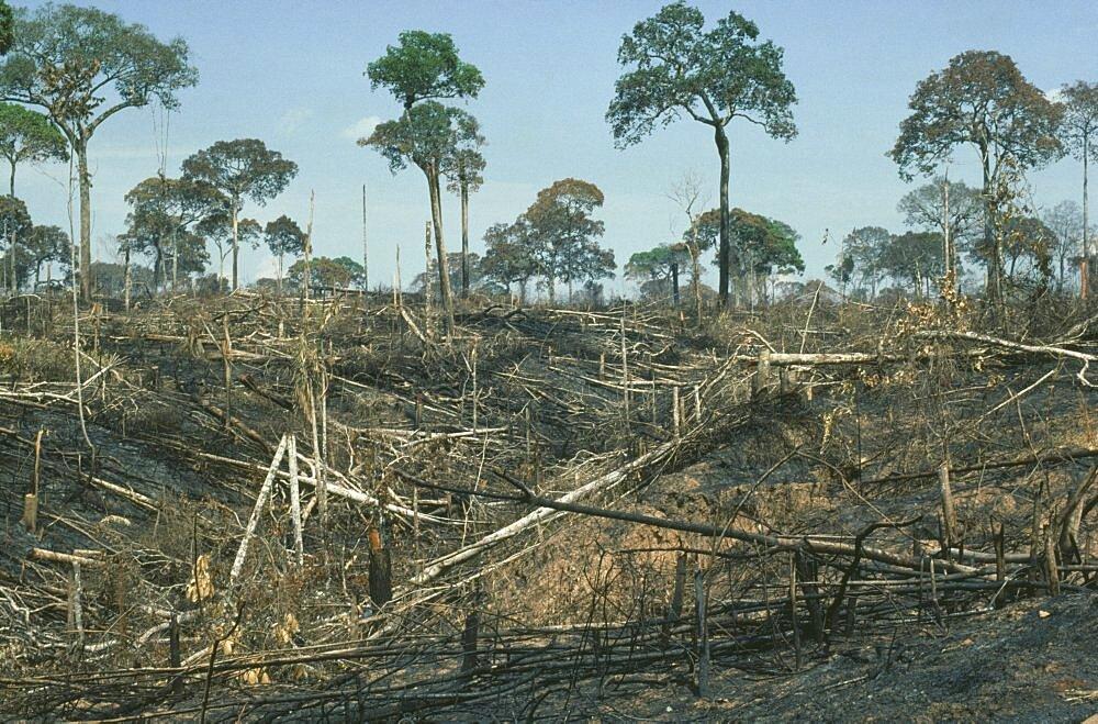 BRAZIL Amazon Acre Brazil nut trees left after deforestation by slash and burn.  Brasil  - 797-2757