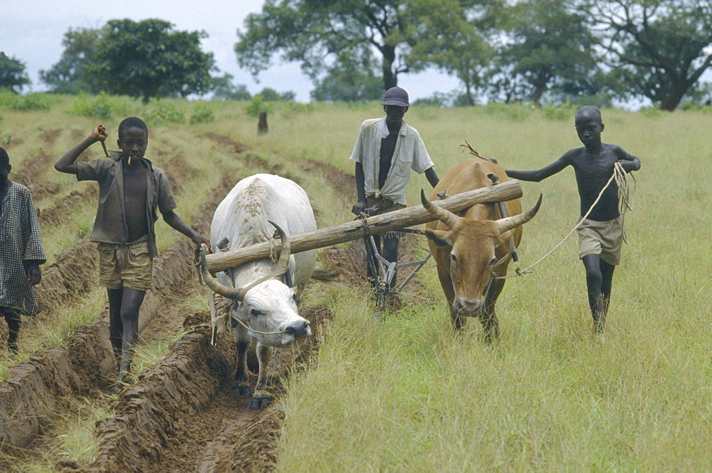 GAMBIA  Farming Ploughing with oxen after a drought.  - 797-2850