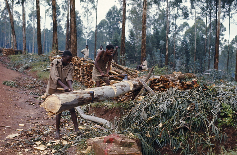 RWANDA Environment Deforestation Felling trees. - 797-3023
