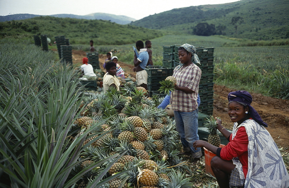 GHANA  Farming Workers with pineapples grown for export on plantation near Accra. West Africa