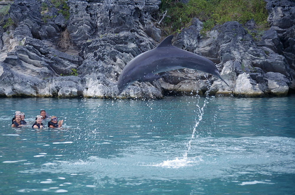 BERMUDA  Southampton Dolphin Quest. Captive Dolpin performing tricks above water with tourists in pool watching Dolphin Quest in Bermuda was opened  in 1996 at the Fairmont Southampton Destroyed in 1999 by Hurricane Gert and Has now moved to Bermuda Maritime Museum Royal Naval Dockyard