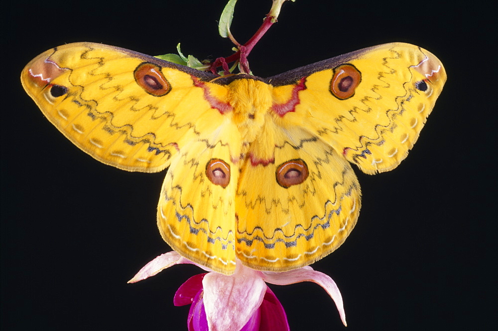Golden Emperor Silk Moth Leopa katinka Single insect with outstretched wings on pink flower,  - 797-4302