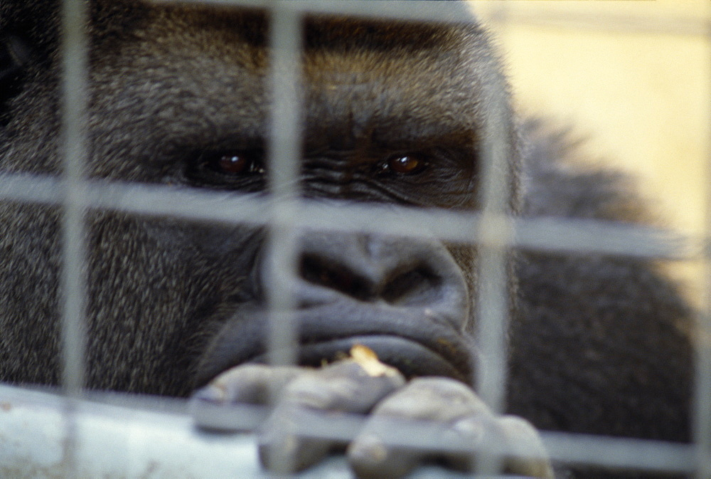 Western lowland gorilla in captivity in Chessington zoo looking through bars of cage,
