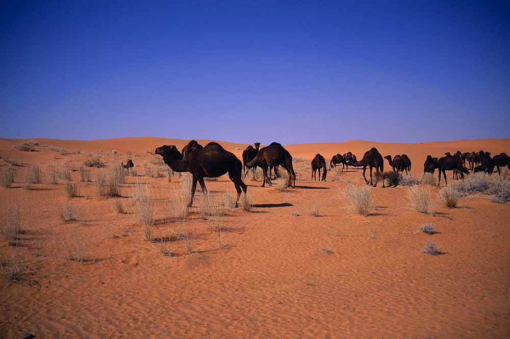 Herd of camels grazing in sandy desert sparse scrubby vegetation, Beraydah, Saudi Arabia