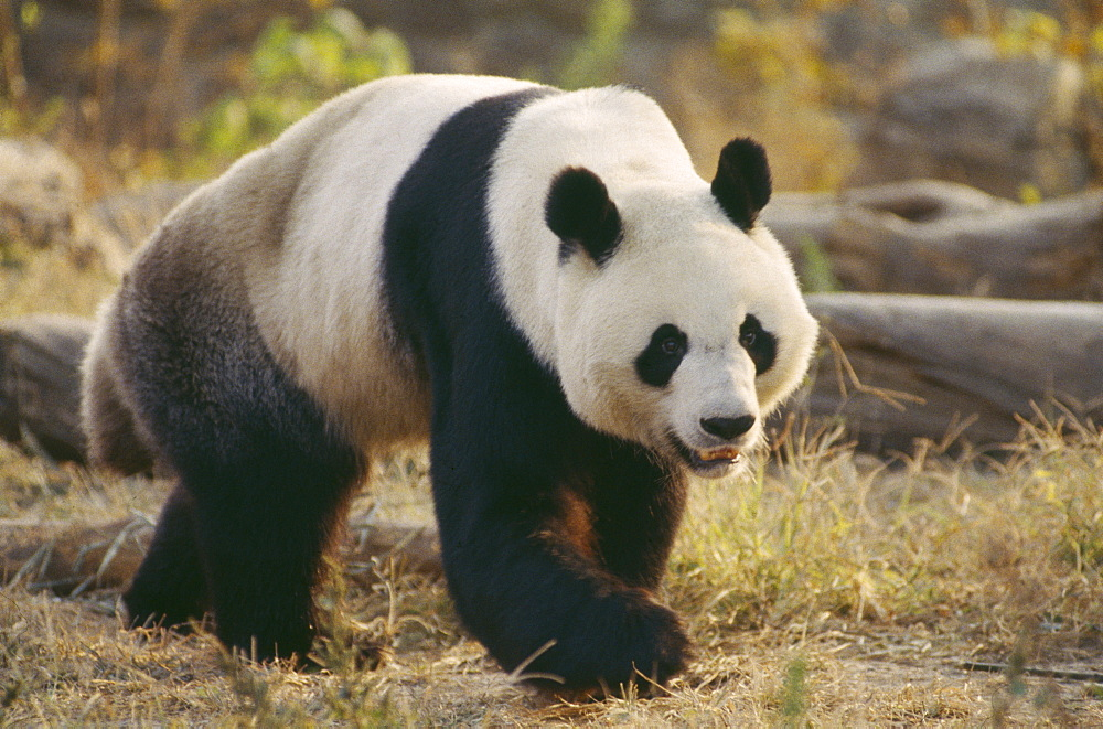 WILDLIFE Bears Panda Giant Panda walking on the ground at Beijing Zoo  - 797-460