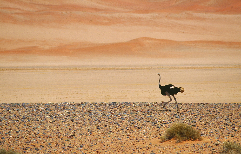 WILDLIFE Birds Ostrich Single Ostrich running across semi desert with sand dunes behind in Namibia