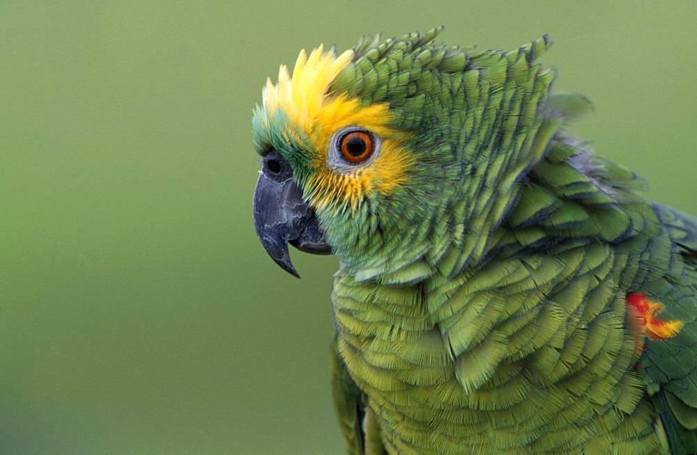 BRAZIL   BIRD   Portrait Beak  Turqouise  fronted Parrot   Brasil  - 797-770