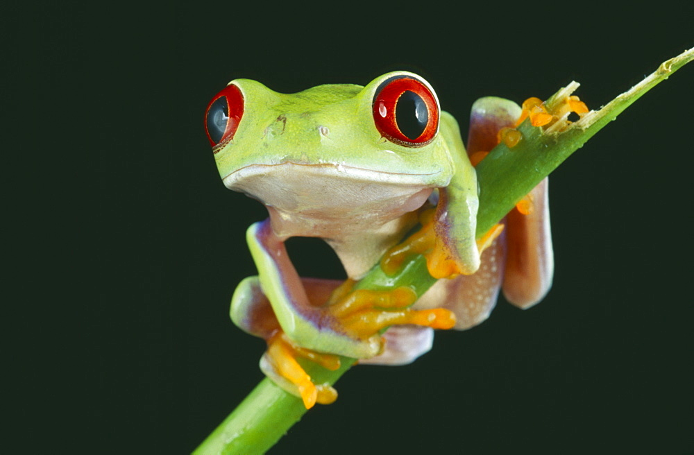 NATURAL HISTORY Amphibian Frog Red eyed tree frog perched on twig  - 797-866