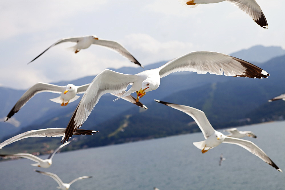 Birds, Gulls, in flight, flock of Seagulls on the Greek island Thasos.