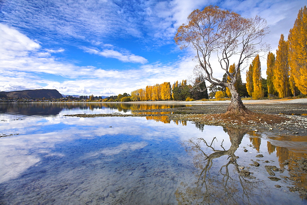 Spectacular autumn colour beside the lake at Wanaka, Otago, South Island, New Zealand, Pacific