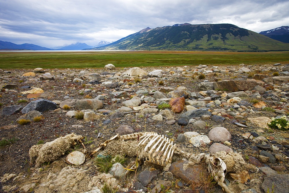 Sheep skeleton on the plains of Patagonia, El Calafate, Patagonia, Argentina, South America