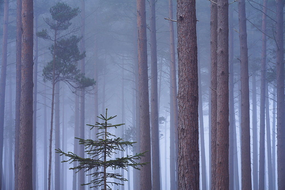 Heavy mist in a pine wood, New Forest, Hampshire, England, United Kingdom, Europe