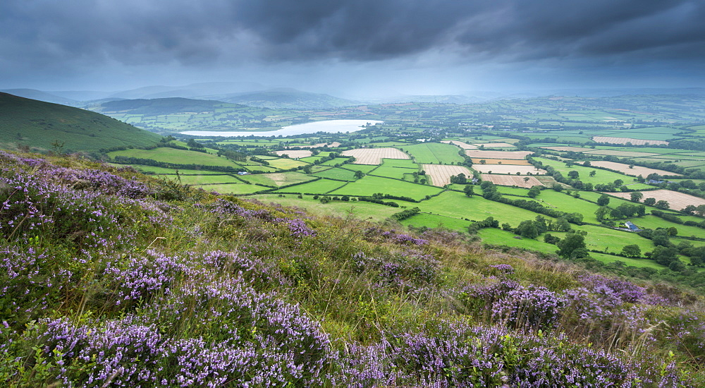 Flowering heather on Mynydd Troed mountain, with views towards Llangorse Lake and Pen y Fan, Brecon Beacons, Powys, Wales, United Kingdom, Europe