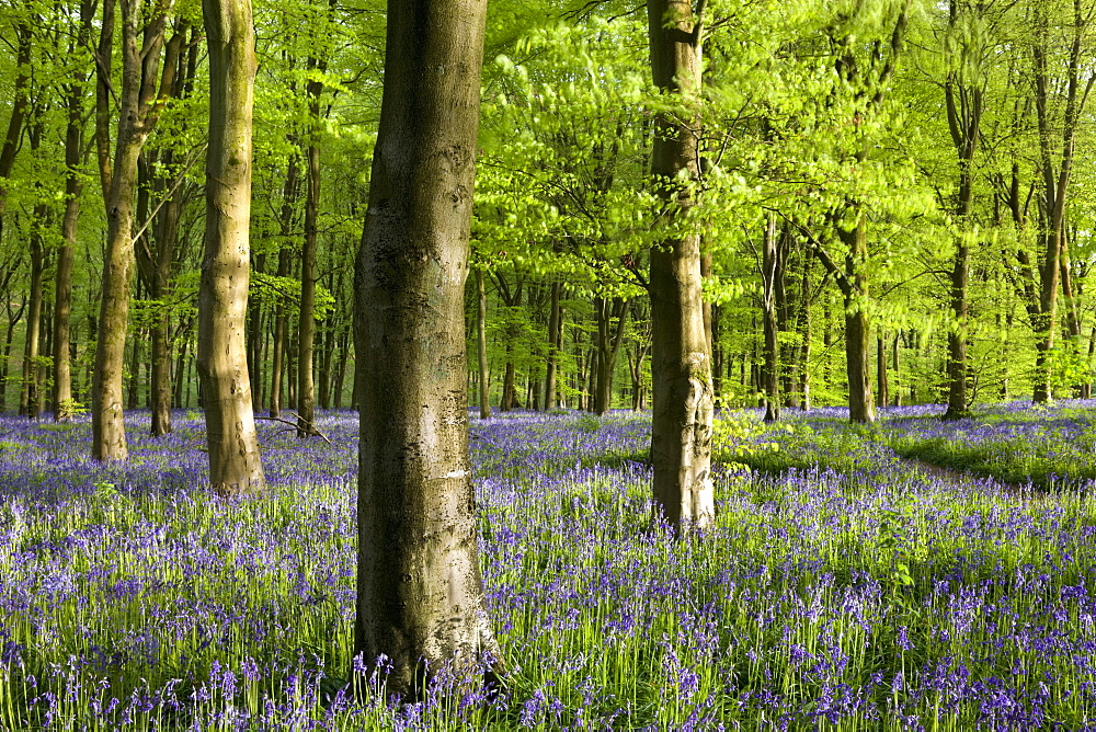 Common bluebells growing in a mature beech wood, West Woods, Marlborough, Wiltshire, England, United Kingdom, Europe