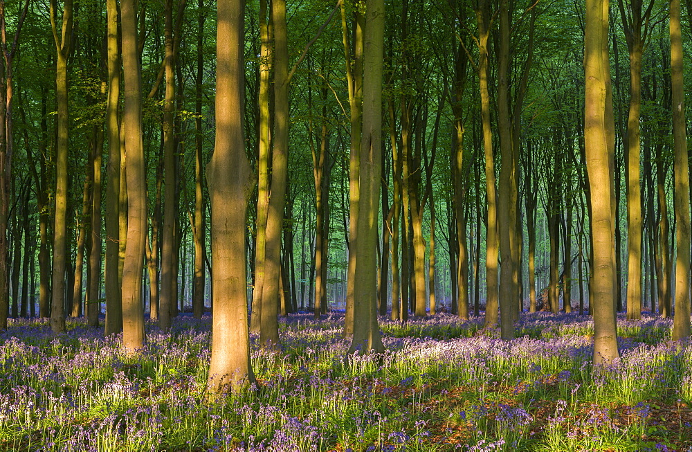 Bluebells growing in a beech wood, West Woods, Lockeridge, Wiltshire, England, United Kingdom, Europe