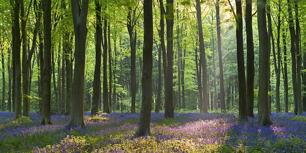 Bluebells and beech trees, West Woods, Marlborough, Wiltshire, England, United Kingdom, Europe