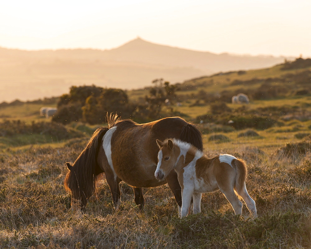 Dartmoor pony and foal grazing on moorland with Brentor beyond, Dartmoor, Devon, England, United Kingdom, Europe