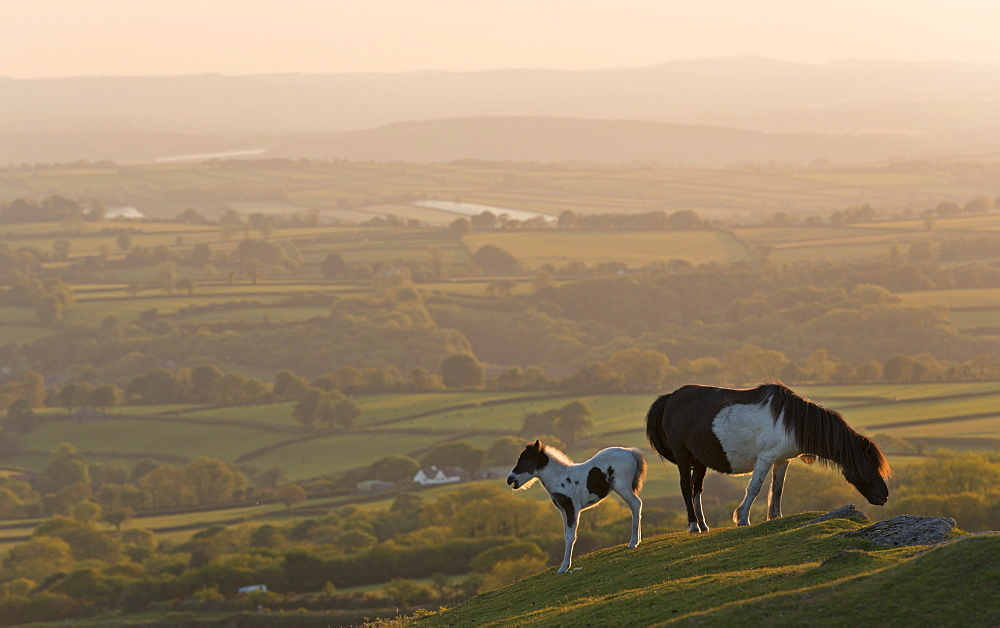 Dartmoor pony and foal grazing on moorland in summer, backed by rolling Devon countryside, Dartmoor, Devon, England, United Kingdom, Europe