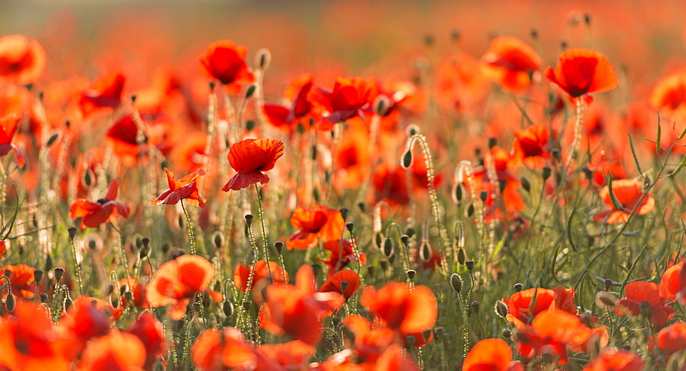 Wild poppies on a beautiful summer's day, Dorset, England, United Kingdom, Europe