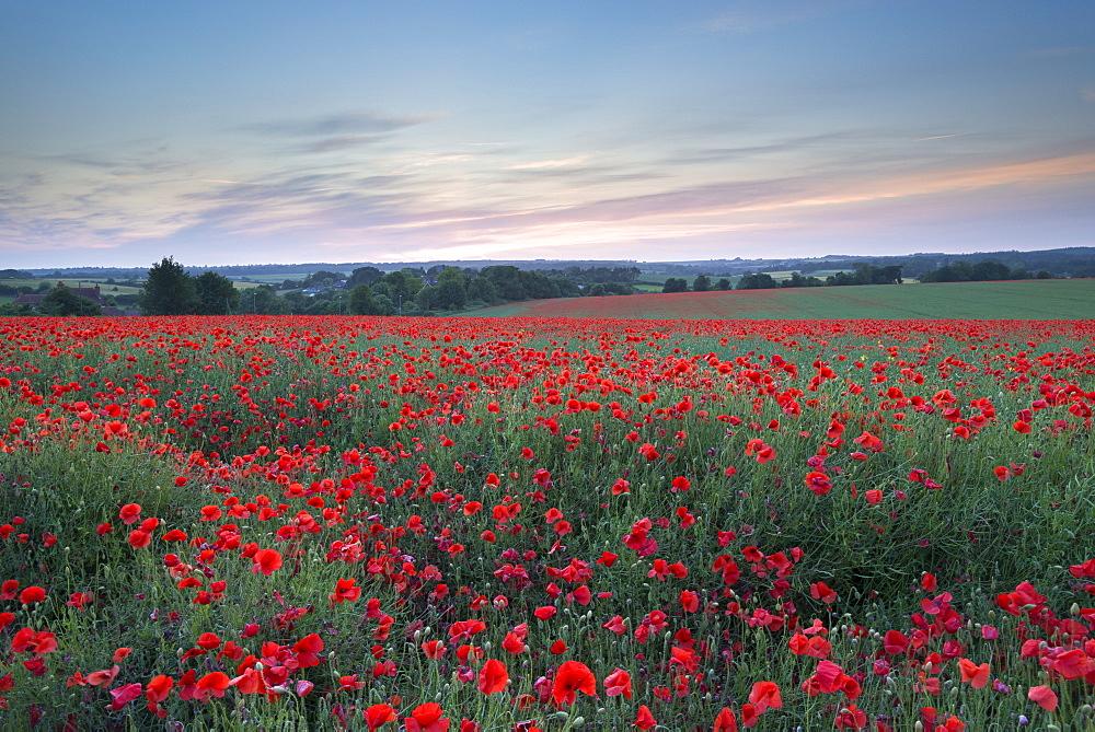 Wild poppy field at sunset in summer, Dorset, England, United Kingdom, Europe