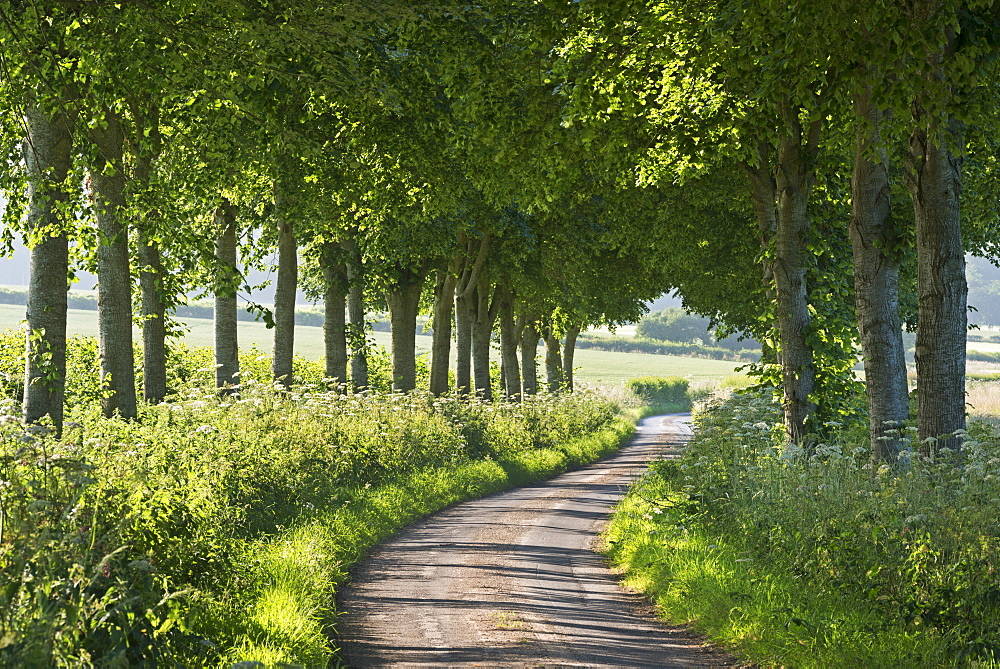 Winding tree lined country lane in summer, Dorset, England, United Kingdom, Europe