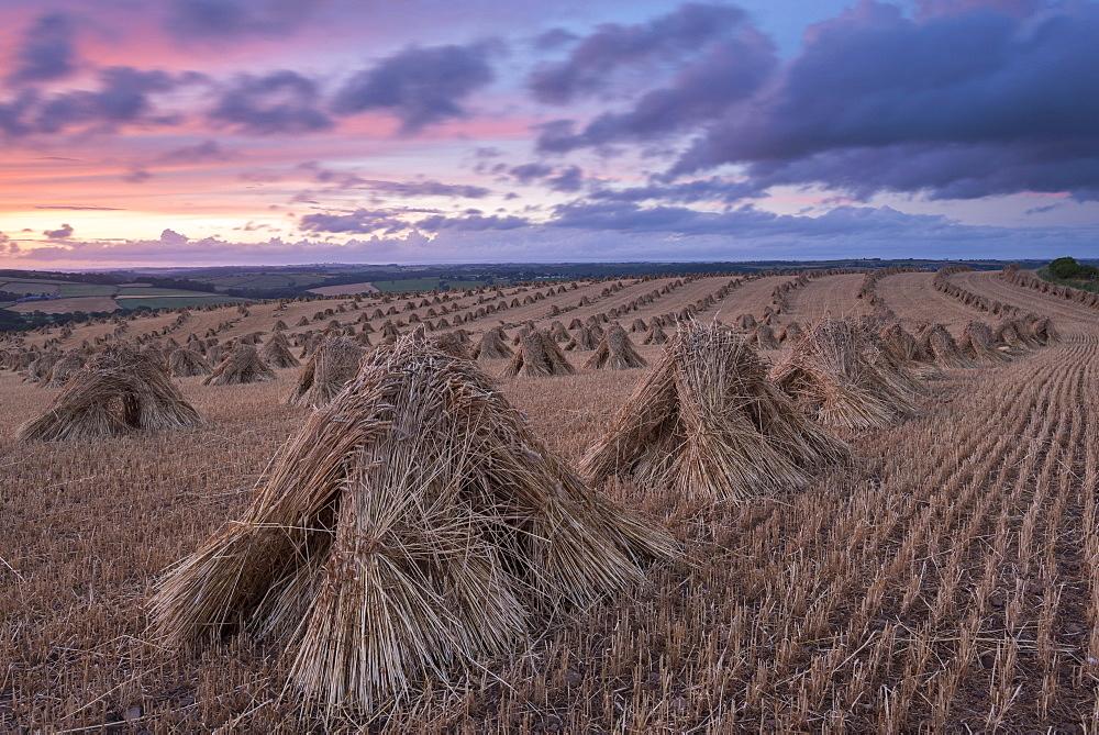 Corn stooks for thatching, Devon, England, United Kingdom, Europe