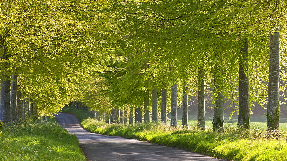 Tree lined country lane in springtime, Dorset, England, United Kingdom, Europe