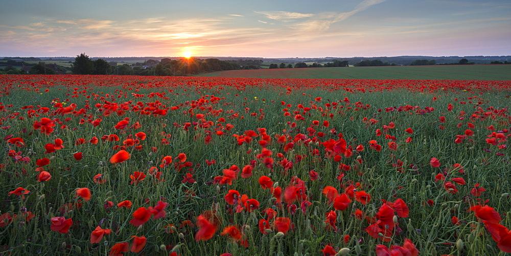 Wild poppy field flowering in the summer time, Dorset, England, United Kingdom, Europe
