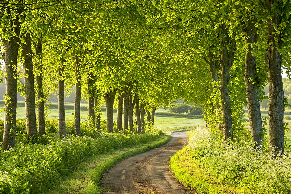 Tree lined country lane in rural Dorset, England, United Kingdom, Europe