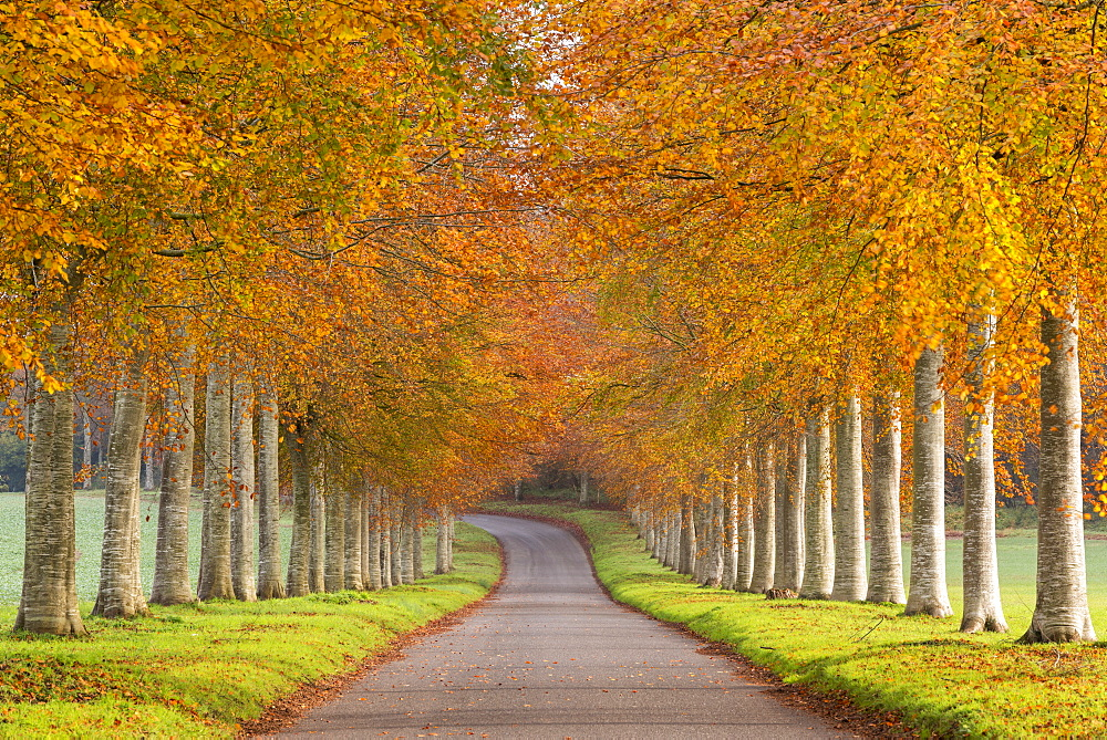Avenue of colourful trees in autumn, Dorset, England, United Kingdom, Europe