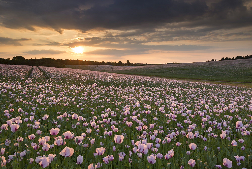 Opium poppies at sunset, Oxfordshire, England, United Kingdom, Europe