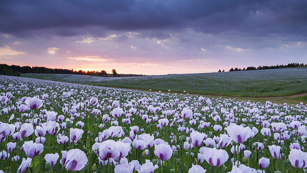 Opium poppyfield at sunset, Chilton, Oxfordshire, England, United Kingdom, Europe