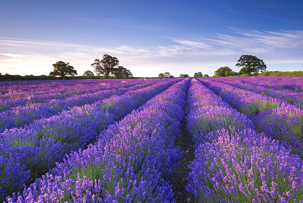 Lavender field at dawn, Somerset, England, United Kingdom, Europe - 799-2759