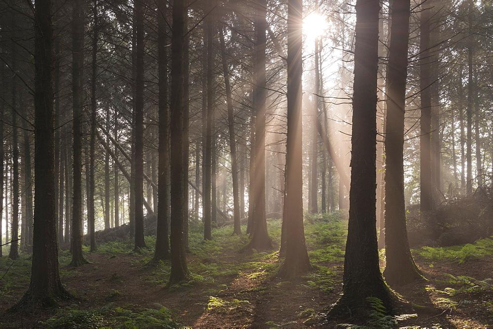Sun shining through misty pine woodland, Morchard Bishop, Devon, England, United Kingdom, Europe - 799-2778