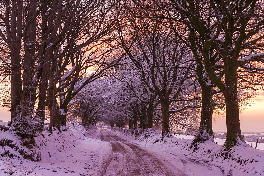 Snowy tree lined country lane at sunrise in winter, Exmoor National Park, Somerset, England, United Kingdom, Europe - 799-2816