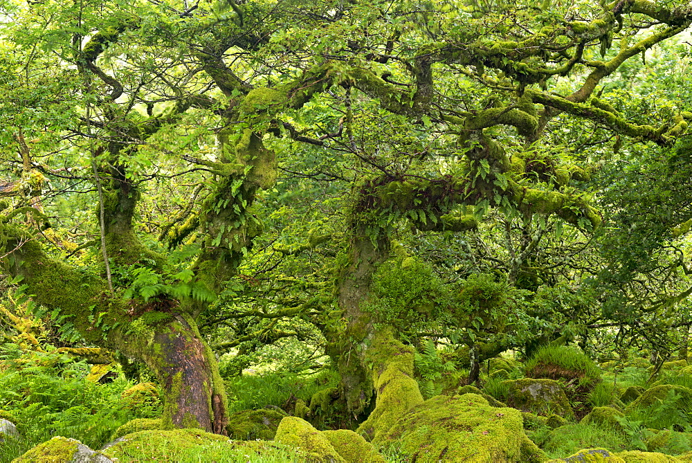 Gnarled lichen covered stunted oak trees growing in Wistman's Wood, Dartmoor National Park, Devon, England, United Kingdom, Europe