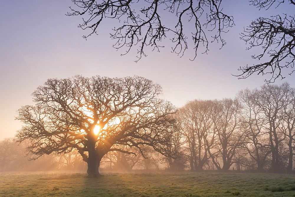 Misty morning sunrise behind an old oak tree, Trundlebeer, Devon, England, United Kingdom, Europe