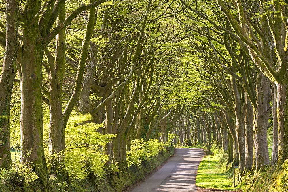 Avenue of mature deciduous trees in spring near Bridestowe, Dartmoor National Park, Devon, England, United Kingdom, Europe