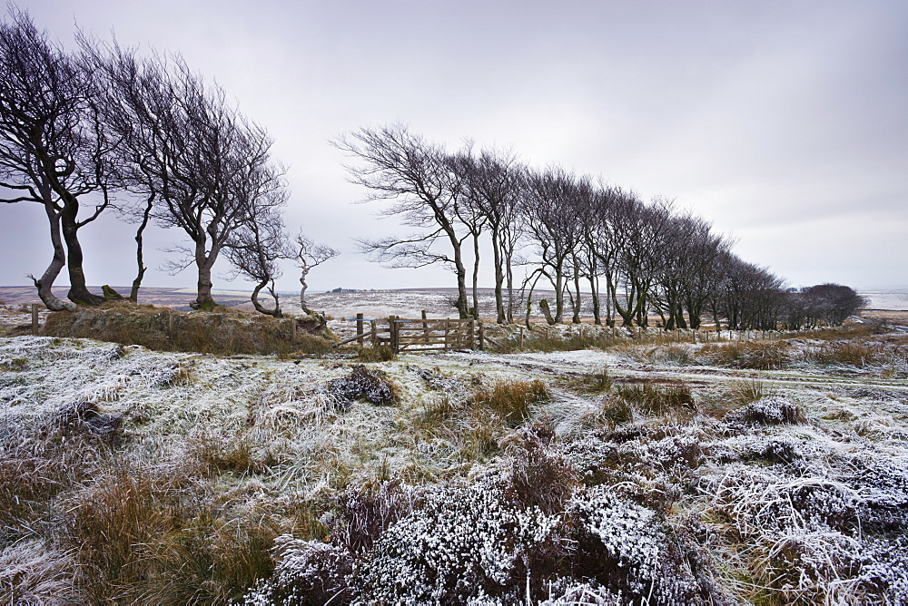 Beech hedge at Alderman's Barrow Allotment on a snowy winter day, Exmoor National Park, Somerset, England, United Kingdom, Europe